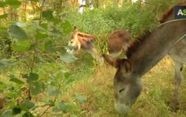 donkeys-fire